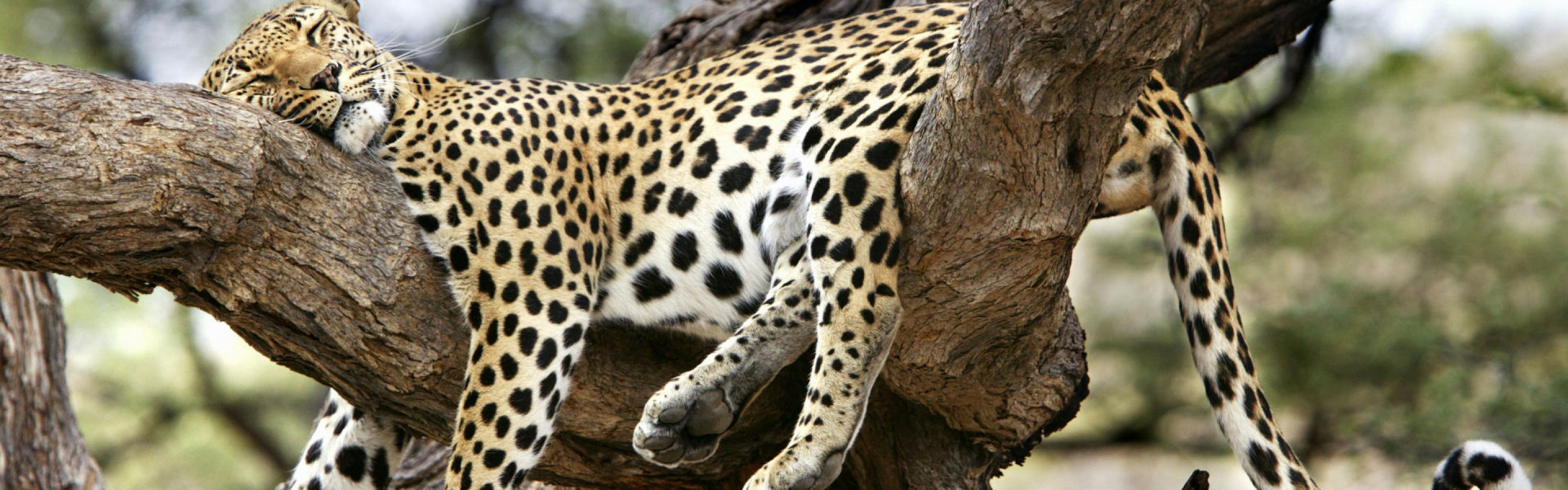 sleeping-leopard-animals-cats-cute-leopard-nature-sleeping-trees-900x2880
