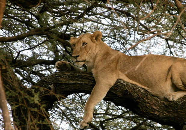 lion-at-lake-manyara-national-park6