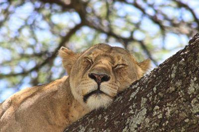 Tanzania: 10-daagse LION KING privé safari & Zanzibar