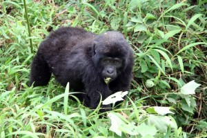 Bwindi gorilla tracking Malika Travel