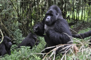 Gorilla Bwindi - Malika Travel