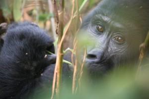 Bwindi Gorilla Malika Travel