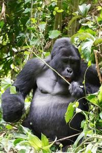 Bwindi Gorilla Silverback Malika Travel