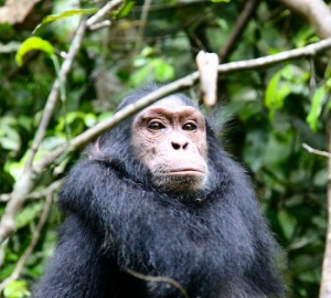 Kibale Chimpansee Malika Travel