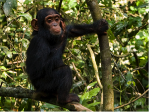 Chimpansee Kibale - Malika Travel