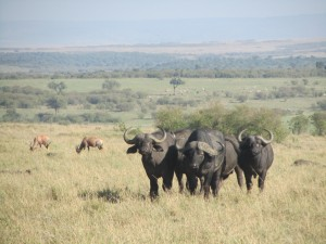 Buffalos Masai Mara - Malika Travel